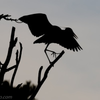 Great Blue Heron Silhouette