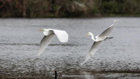 Great Egrets in Flight