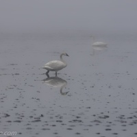 Tundra Swans Through Fog