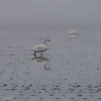Tundra Swans Through Fog