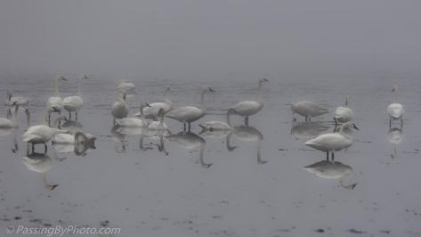Tundra Swans in Fog