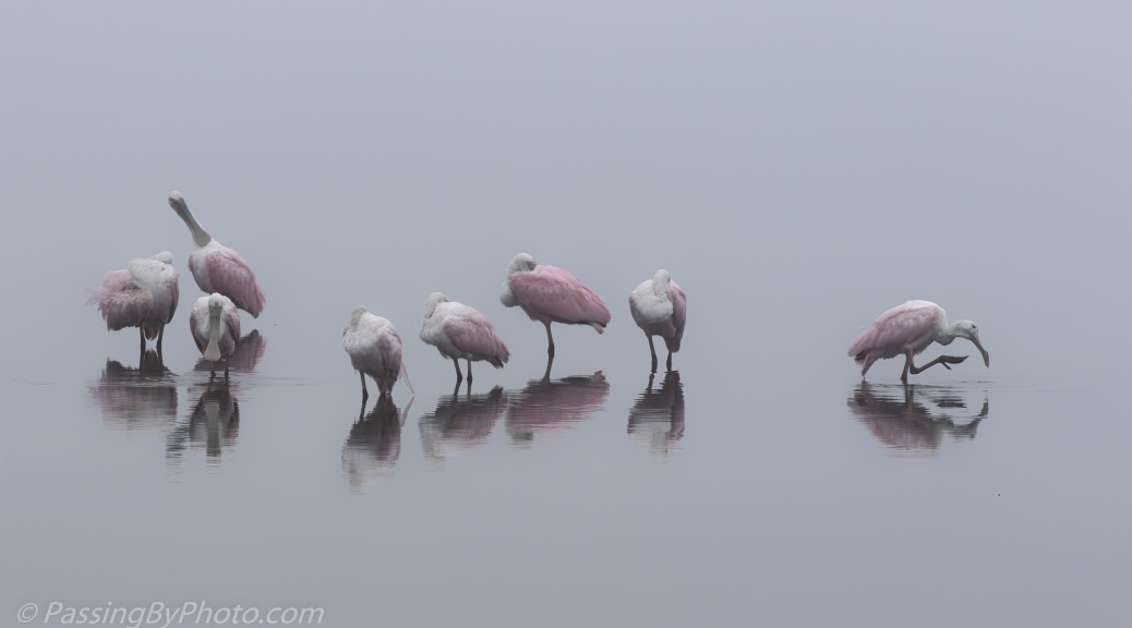 Spoonbills Standing Around