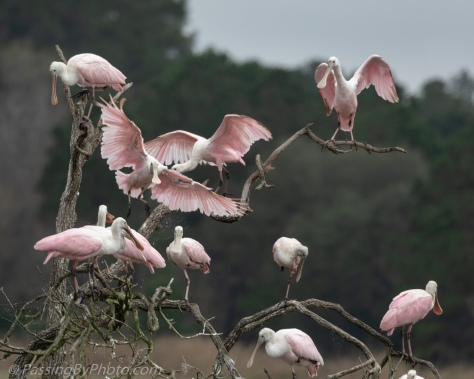 Tree of Roseate Spoonbills