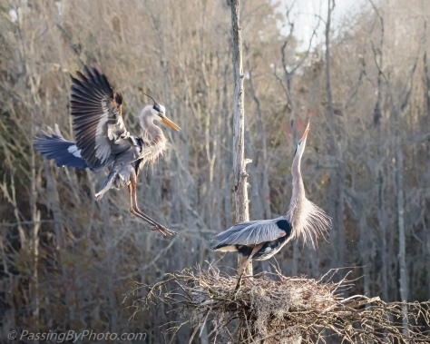 Great Blue Heron Returning to Nest