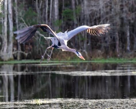 Great Blue Heron Fleeing Nest