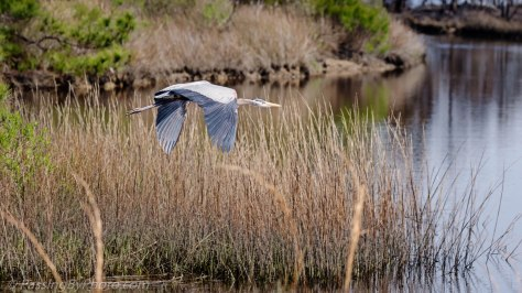 Great Blue Heron Flying Over Marsh
