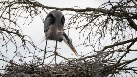 Great Blue Heron Tending Nest