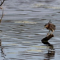 Green Heron, Rippled Water