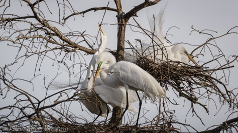 Great Egret Pair Nesting