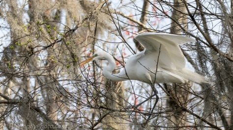 Great Egret Selecting Stick