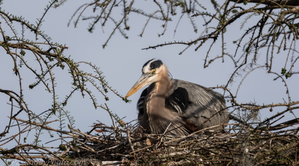 Great Blue Heron Laying on Nest