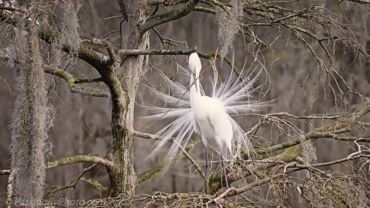 Great Egret Dance and Build