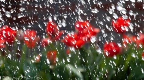 Red Tulips Through Fountain