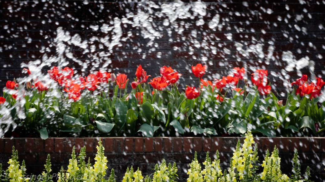 Red Tulips Through Fountain