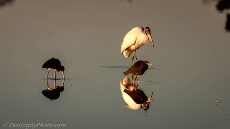 Juvenile White Ibis, Wood Stork, Little Blue Heron