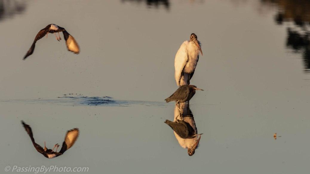 Juvenile White Ibis, Wood Stork, Little Blue Heron