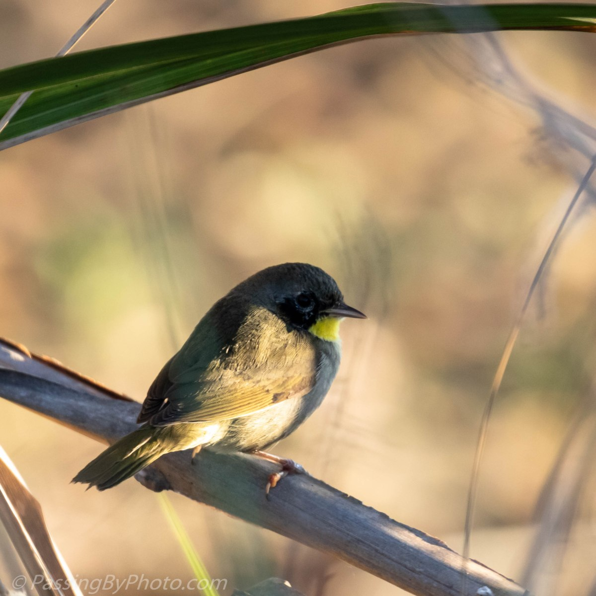 Good Morning, Common Yellowthroat