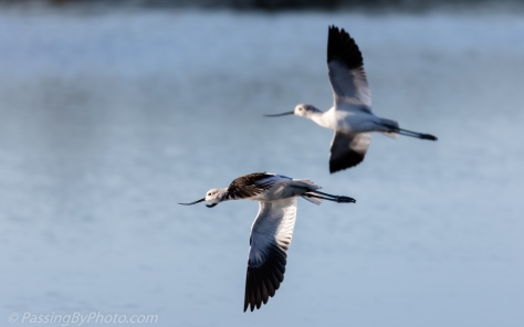 American Avocets in Flight