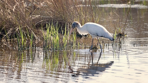 Wood Stork Strutting