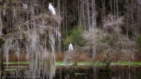 Swamp View with Great Egrets