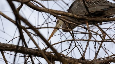 Great Blue Heron Selecting Stick