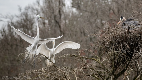 Great Blue Heron Watches Great Egret Scuffle