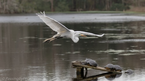 Great Egret Flying Over Alligators, Turtles