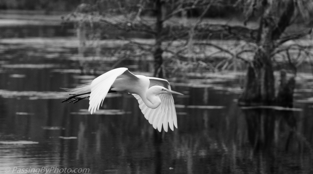 Flying Great Egret in Black and White