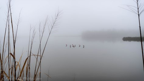 Roseate Spoonbills in the Fog