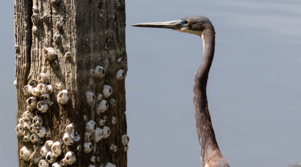 Tricolored Heron With Post