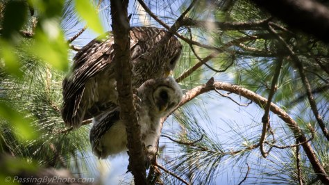 Barred Owl Owlet Learning to Eat