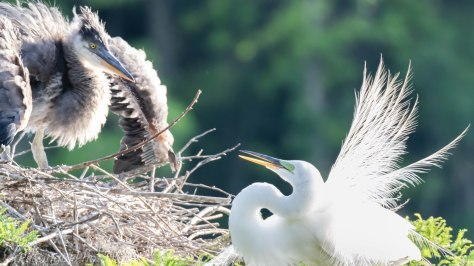 Great Blue Heron Chick Defending Himself