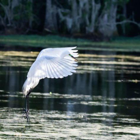 Great Egret Lift Off