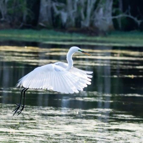 Great Egret Lift Off