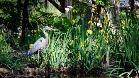 Great Blue Heron Stalking