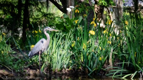 Great Blue Heron Stalking