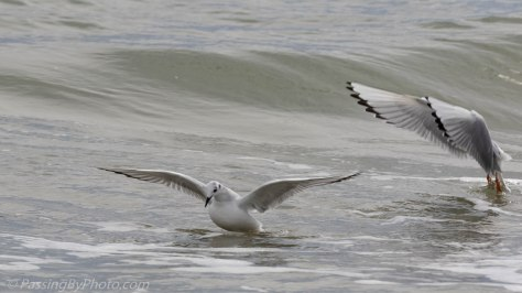 Bonaparte's Gull Pair Feeding