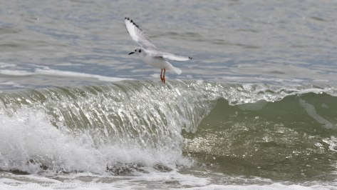 Bonaparte's Gull in Surf