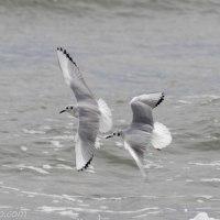 Bonaparte's Gulls Feeding