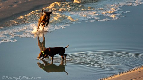 Dogs Playing in Tidal Pool