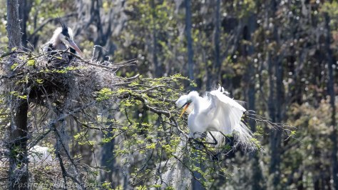 Great Egret Flying In To Nest Tree