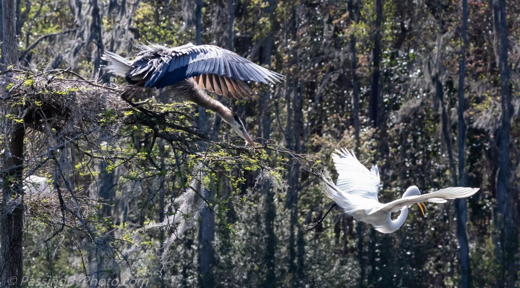 Great Egret Getting Chased Out of Nest Tree