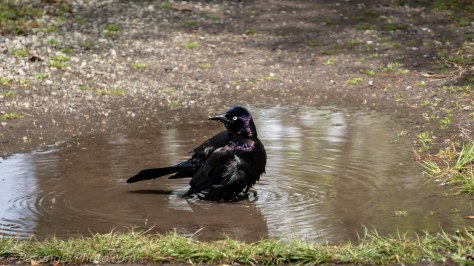 Common Grackle Bathing
