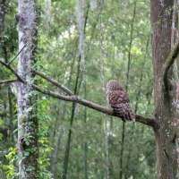 Barred Owl, Waiting