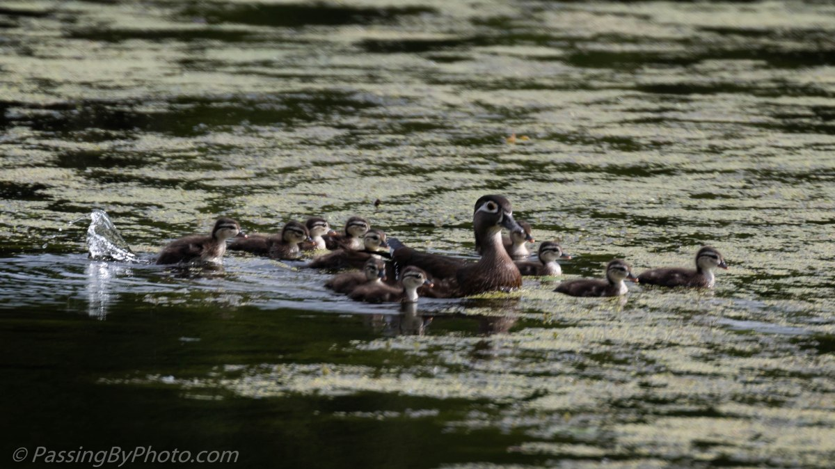 Ducklings: Make Way