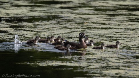Female Wood Duck with 18 Ducklings