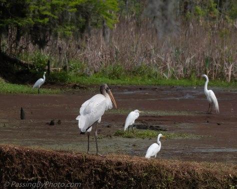 Wood Stork and Egrets