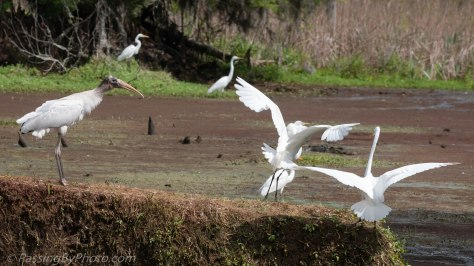 Wood Stork and Great Egrets