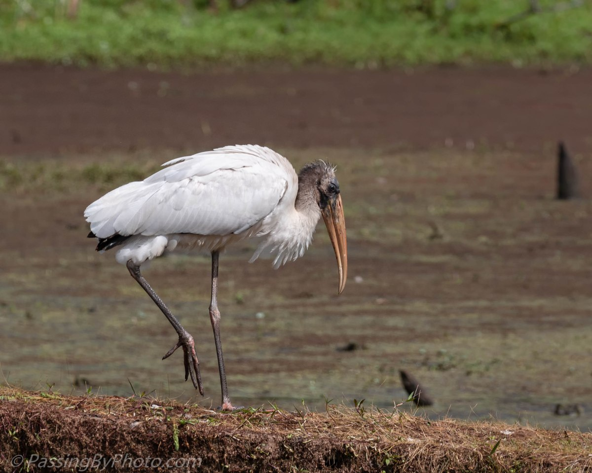 Wood Stork Patrolling His Domain