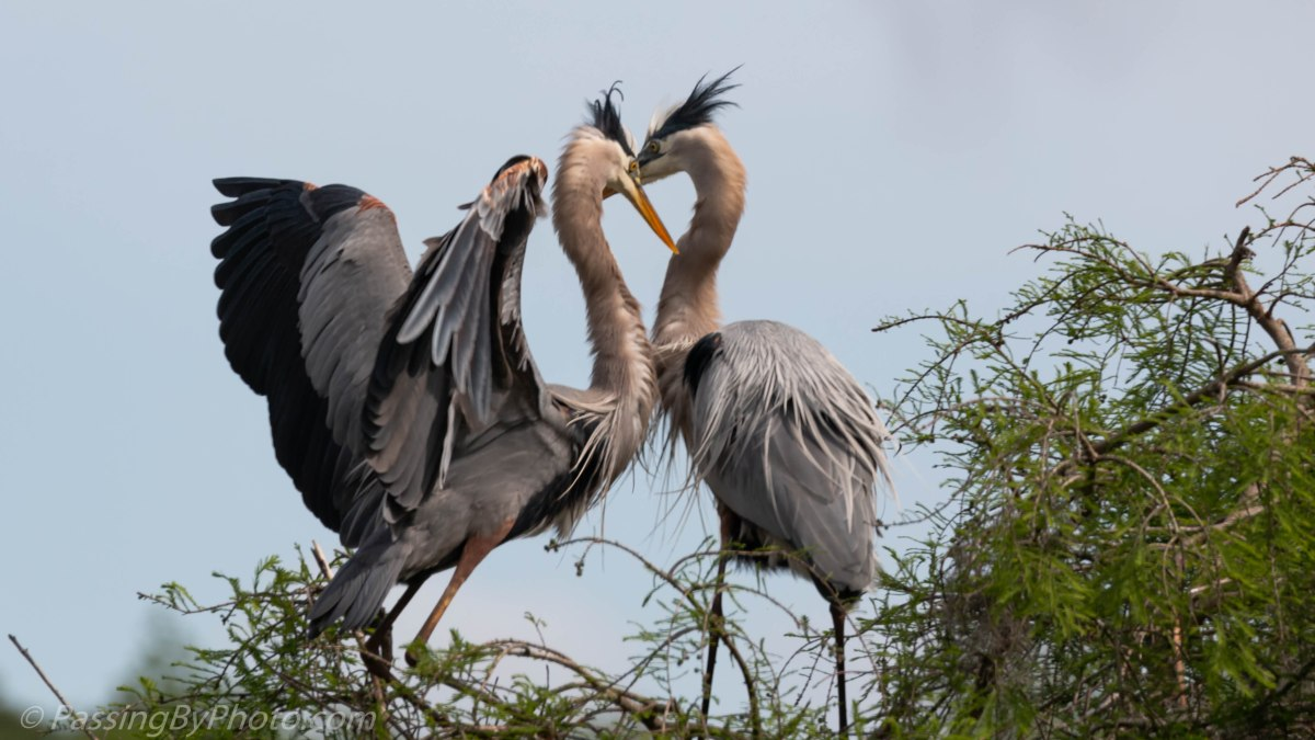 Great Blue Herons Whispering Sweet Nothings